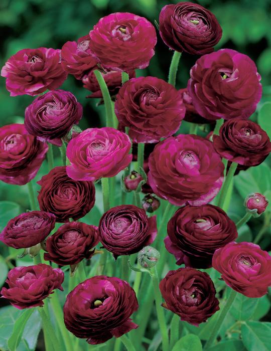 Ranunculus Deep Burgundy Shades