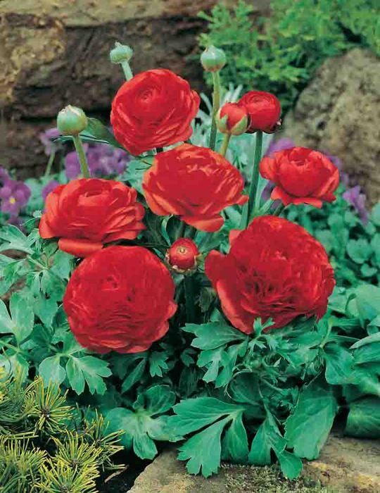 Ranunculus Red Chief