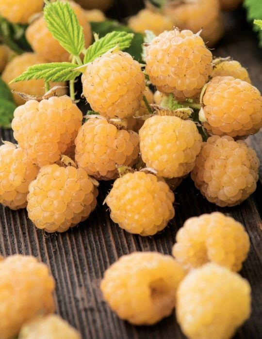 Raspberry Golden Yellow