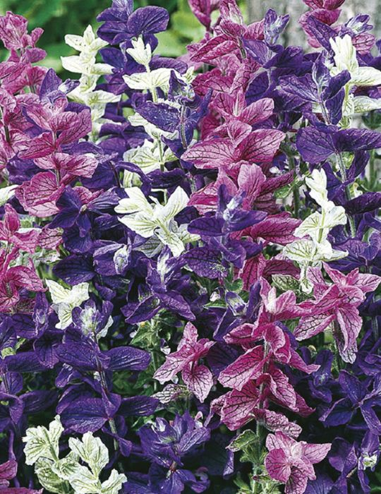 Salvia Tricolour Mix