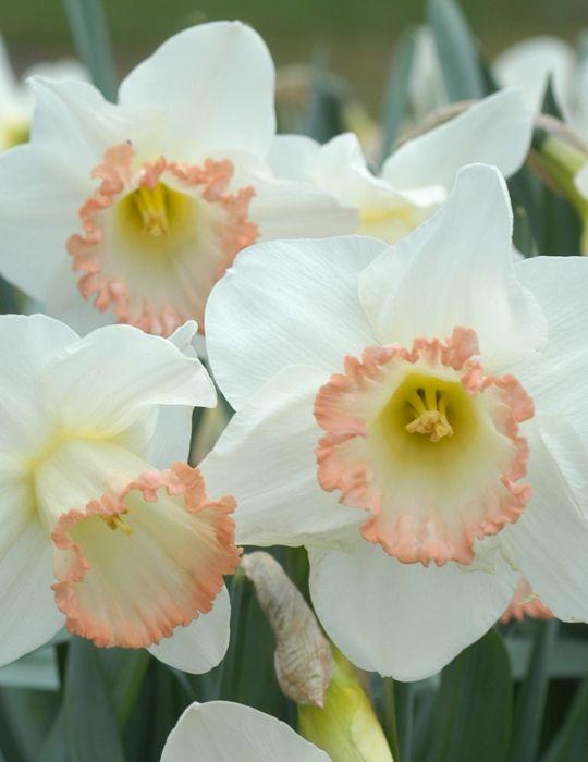 Daffodil Shirley Ann