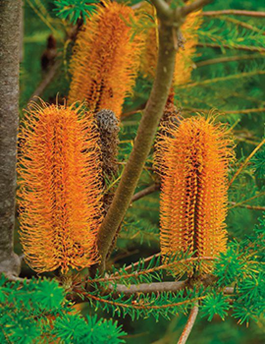 Heath Banksia WILDFLOWER