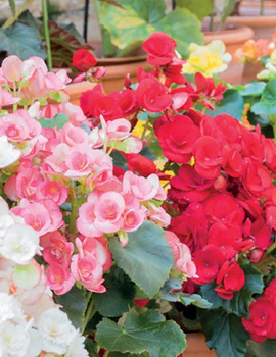 Begonia (season:Aug-Sep)