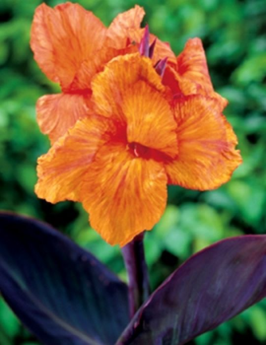 Canna Lily Wyoming (season: Winter)