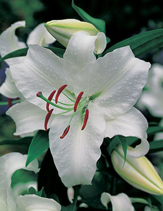 Oriental Lily Casablanca (season:Aug-Sep)