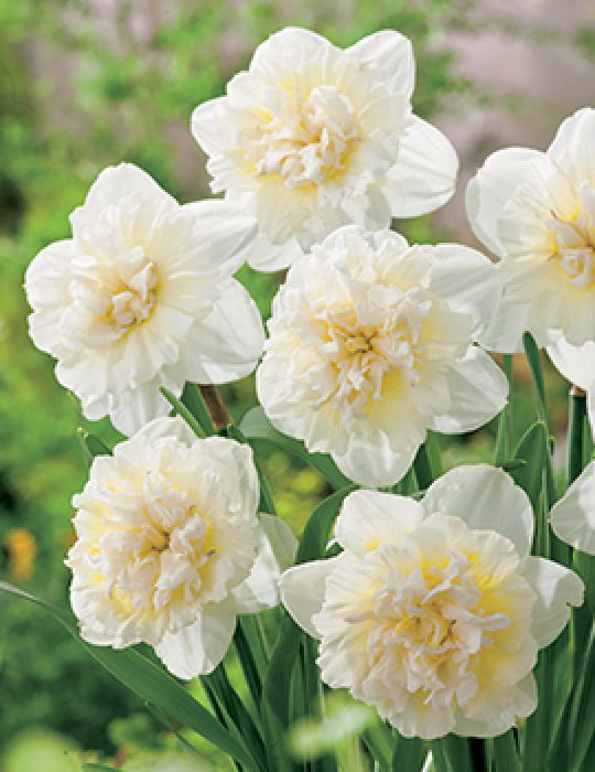 Daffodil Double Ice King