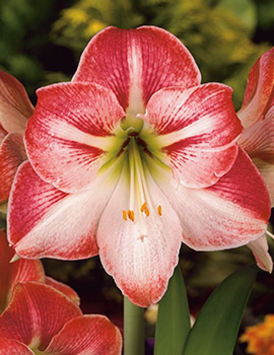 Hippeastrum Flamenco Queen (season:Aug-Sep)