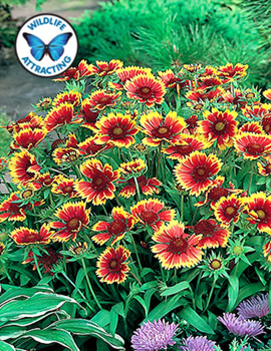 Gaillardia Goblin (Blanket Flower)