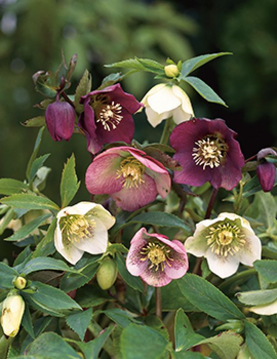 Hellebore Mix (season: Winter)