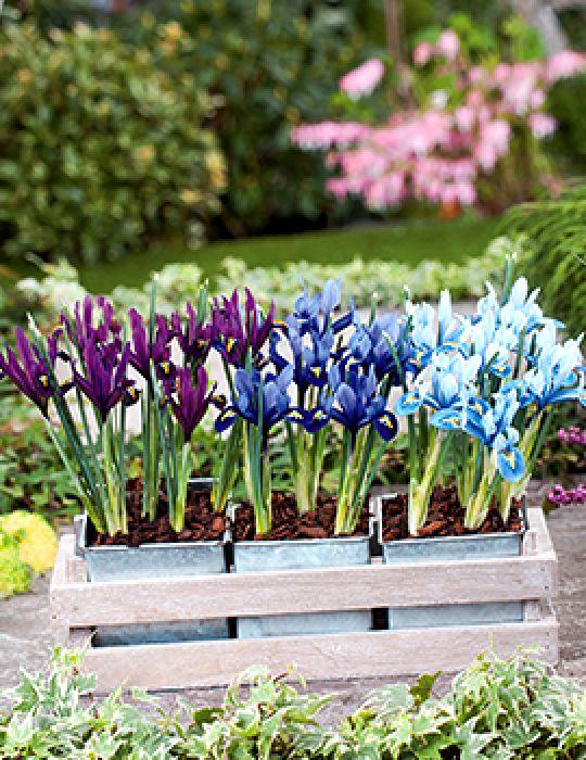 Dwarf Iris Reticulata Mix