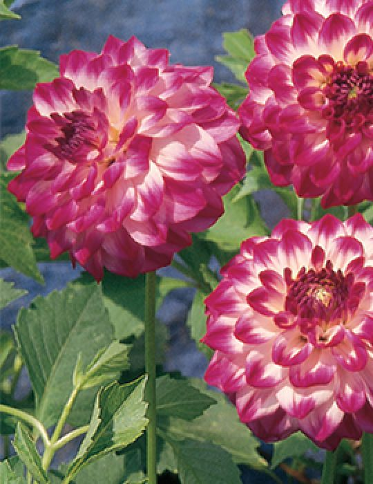 Dahlia Gambier Jane (season:Aug-Sep)