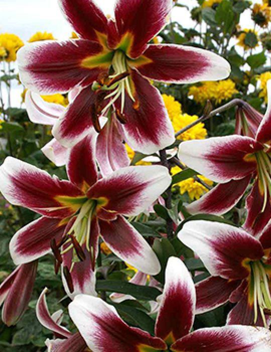 Tree Lily Miss Lily (season: Aug-Sep)
