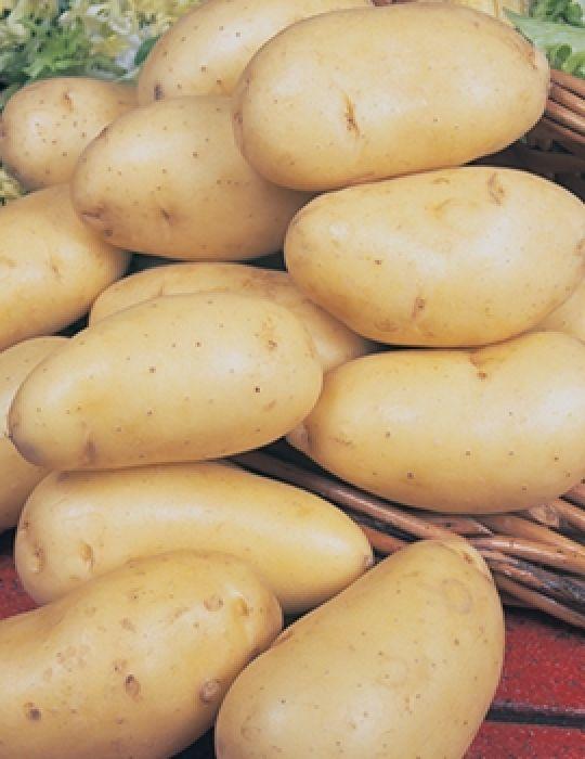 Potato Nicola 1 kg bag