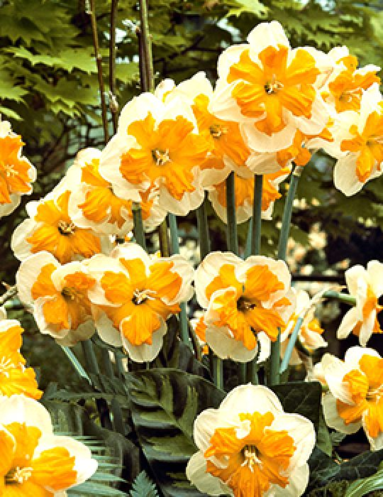 Daffodil Butterfly Pick Up