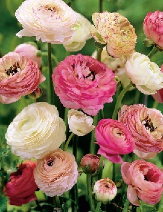Ranunculus Romantic Pastels