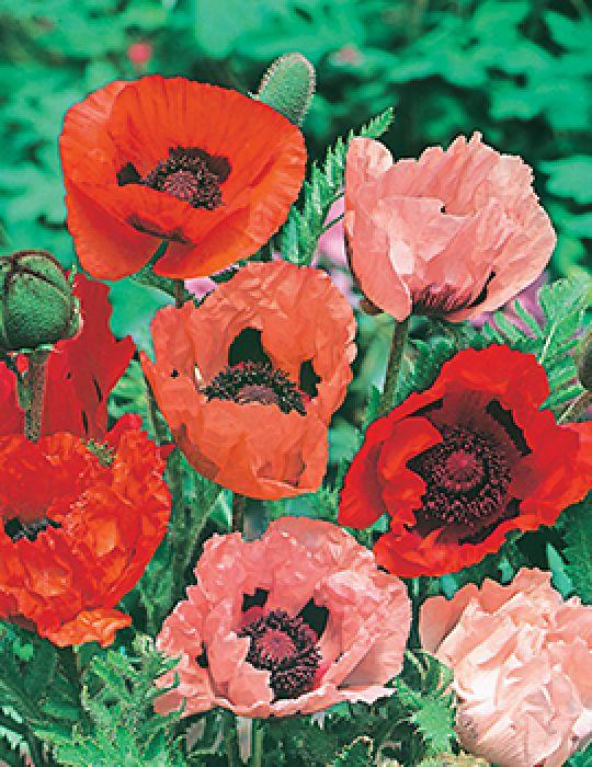 Poppy Oriental Mix
