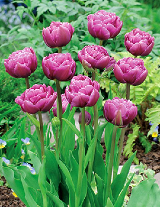 Tulip Double Margarita