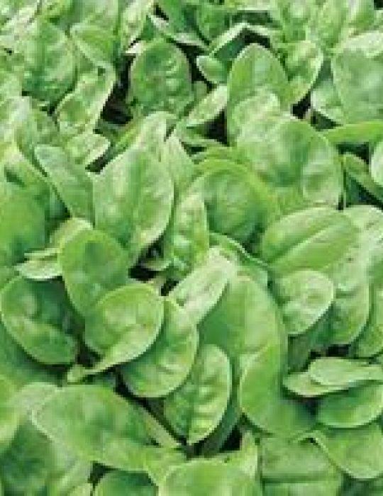 Spinach Emilia F1