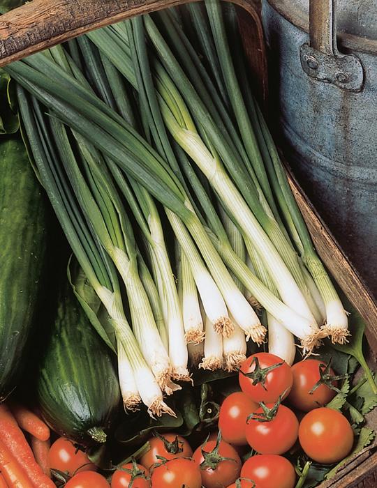 Spring Onion Savel CONTAINER GARDEN