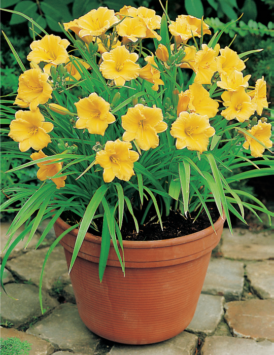 Daylily Stella D'Oro (season: Winter)