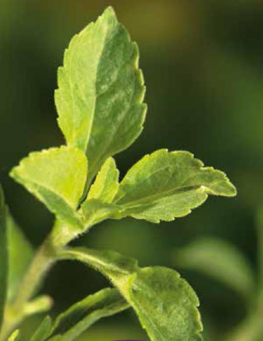 Stevia Sweetleaf