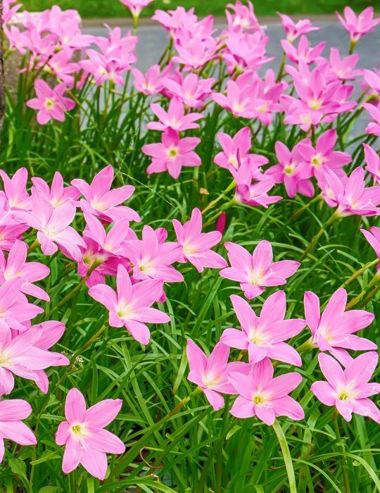 Storm Lily - Pink (season: Winter)