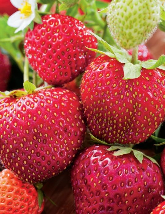 Strawberry Tioga (Crowns)