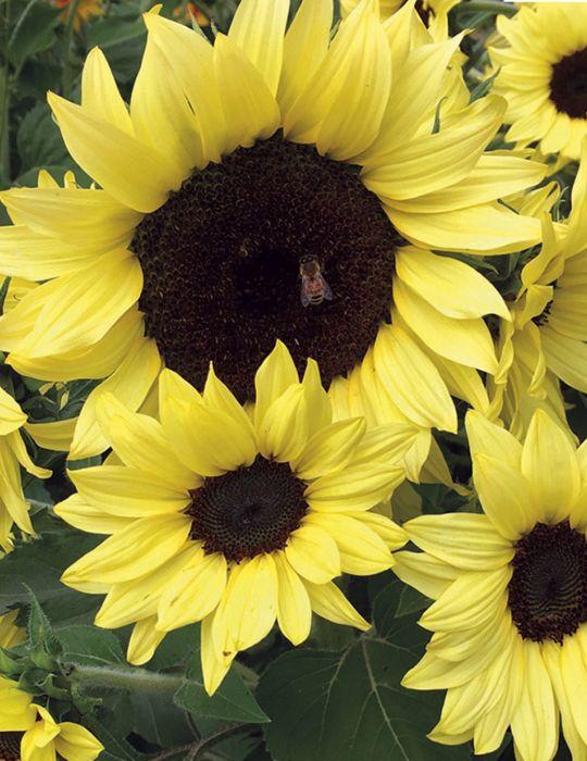 Sunflower Lemon Bling F1