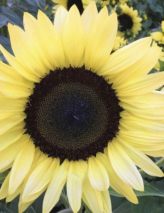 Sunflower Lemon Striker F1