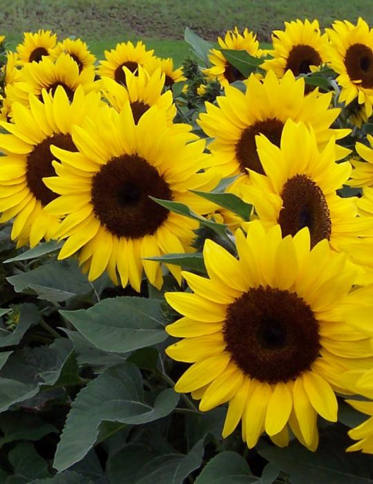 Sunflower Dwarf Microsun - CLEARANCE BULK BAG