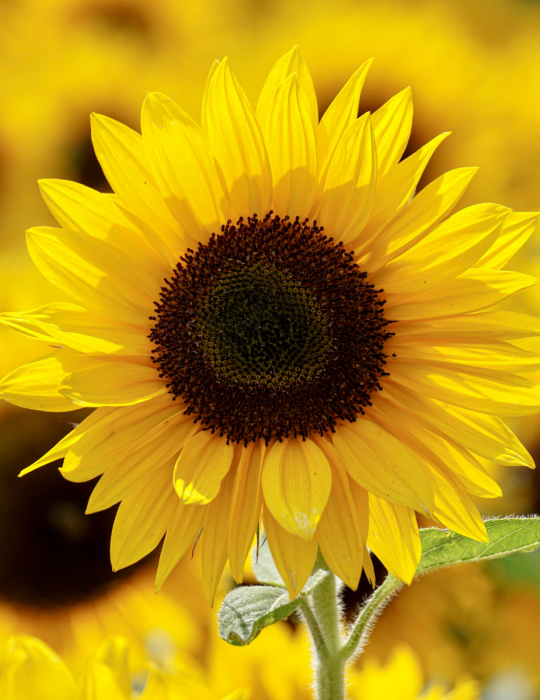 Sunflower Princess F1 - CLEARANCE BULK BAG