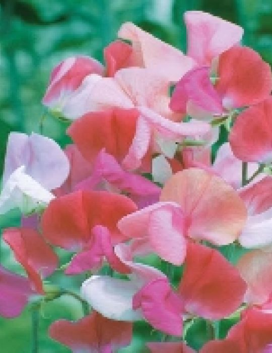 Sweet Pea Perfumed Duet