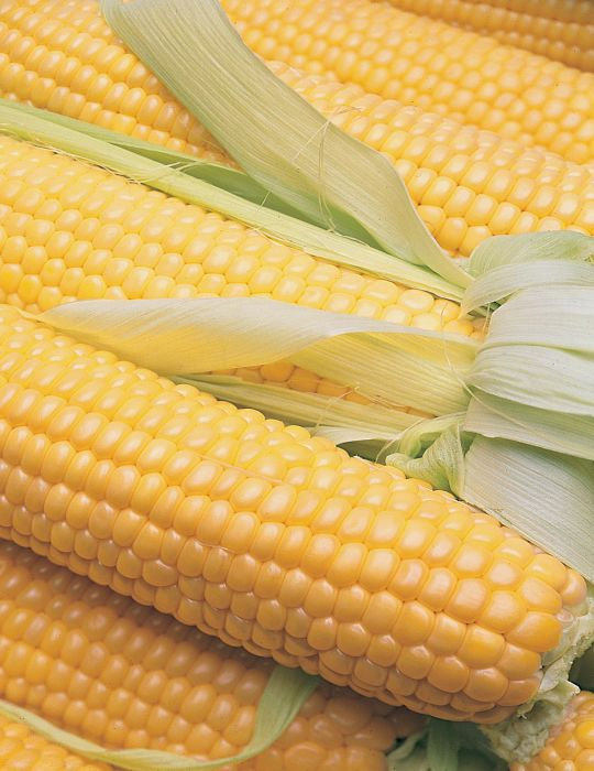 Sweet Corn Terrific F1 VALUE PACK