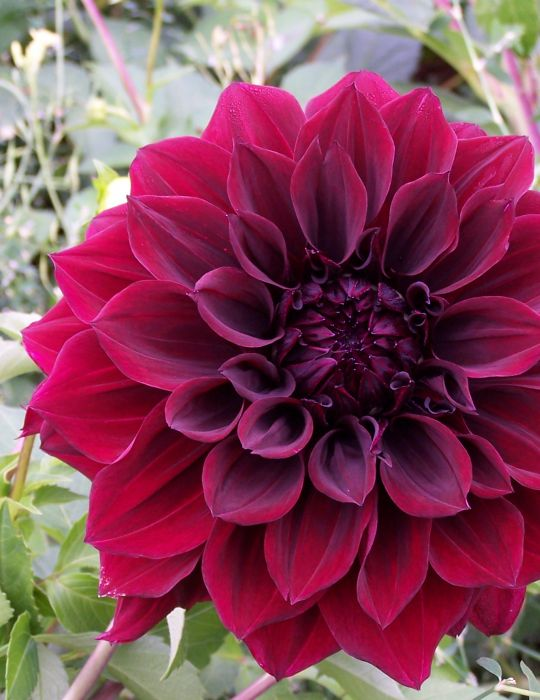 Dahlia Giant Glowing Embers (season:Aug-Sep)