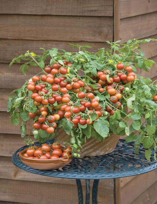 Tomato Cherry Falls