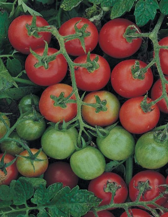 Tomato Tommy Toe HEIRLOOM