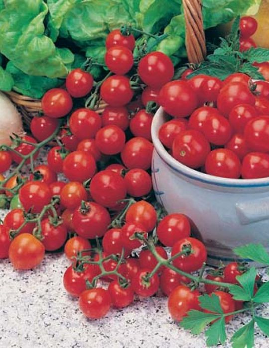 Tomato Tiny Tom CONTAINER GARDEN