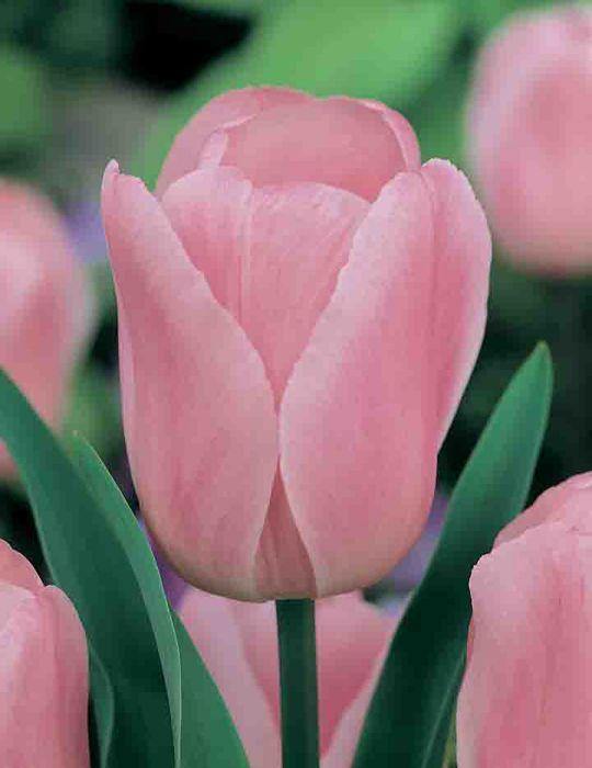 Tulip Pink Rosalie