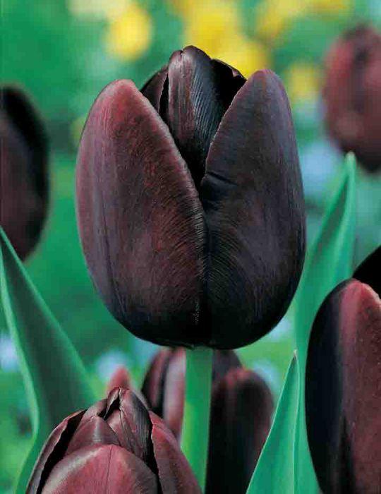 Tulip Queen Of The Night