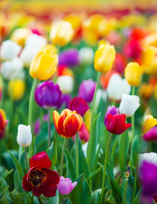 Tulip Bulk Box