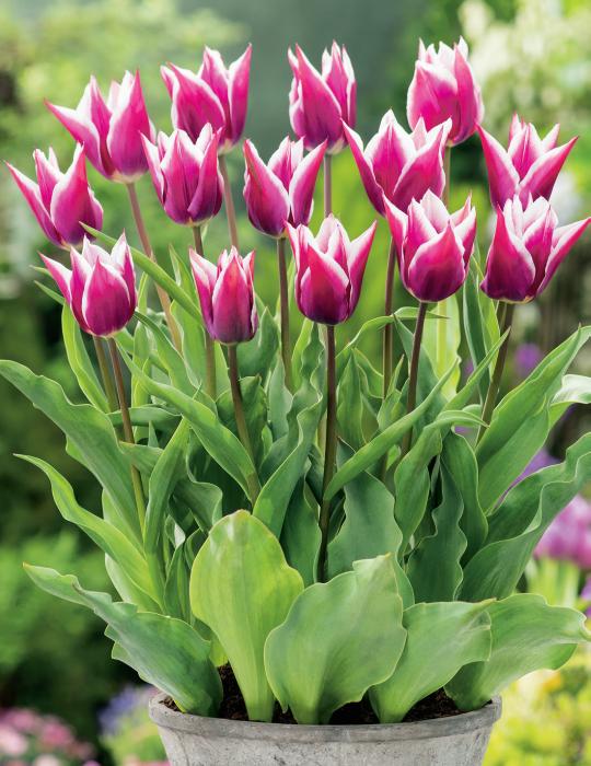 Tulip Claudia