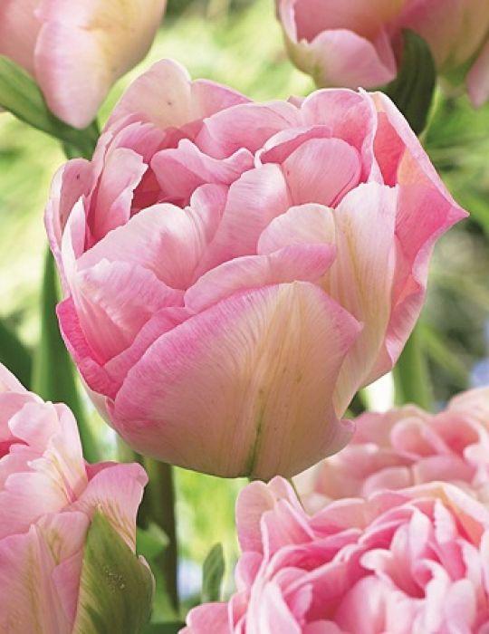 Tulip Double Angelique