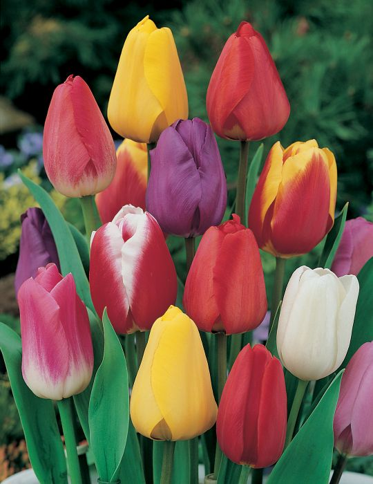 Tulip Mixed Colours