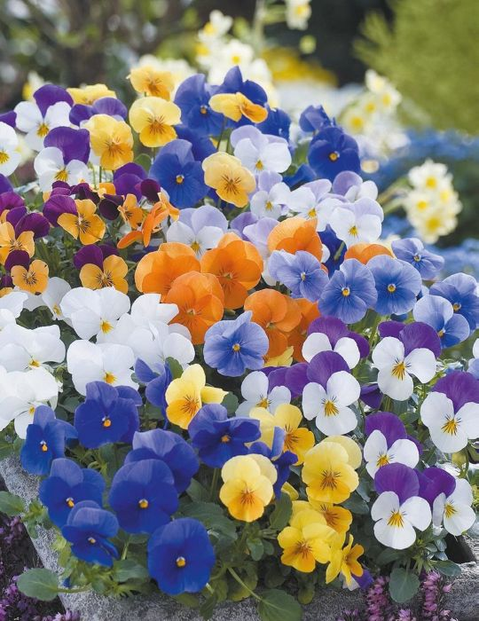 Viola Floral Power Mixed F1