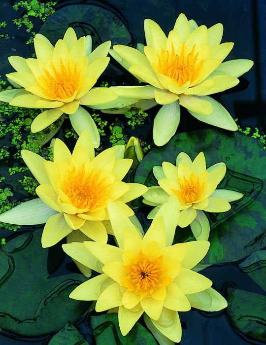 Water Lily Chromatella (season:Aug-Sep) NOT WA