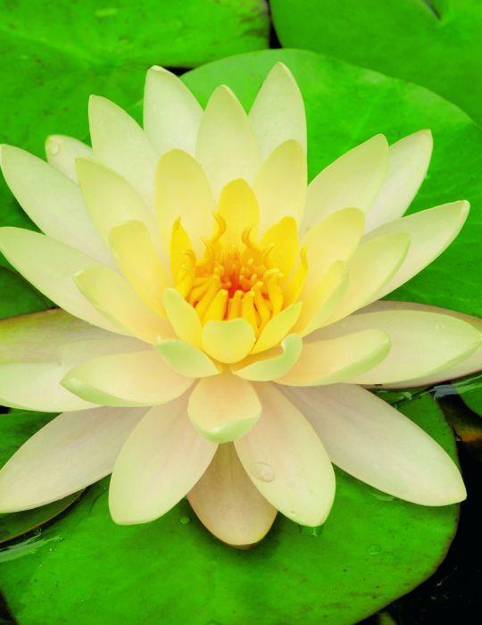 Water Lily Florida Sunset (season:Aug-Sep) NOT WA