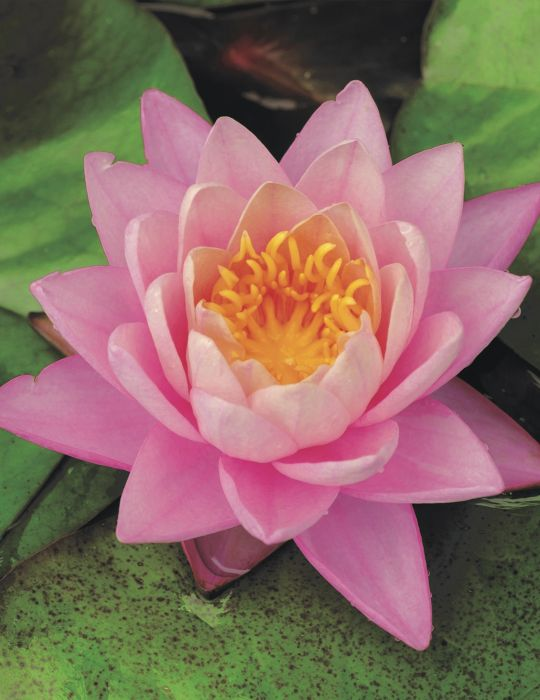 Water Lily Norma Geyde (season:Aug-Sep) NOT WA