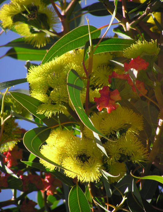 Illyarrie Red Cap Gum WILDFLOWER - NOT AVAILABLE TO WA/TAS/SA