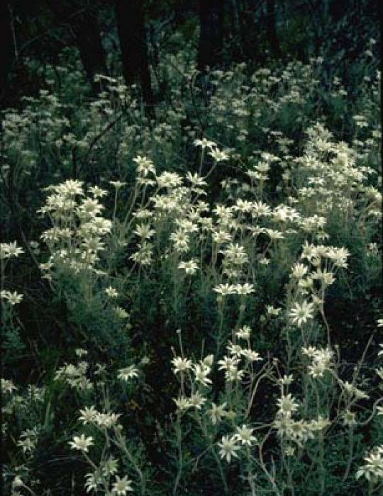 Flannel Flower WILDFLOWER