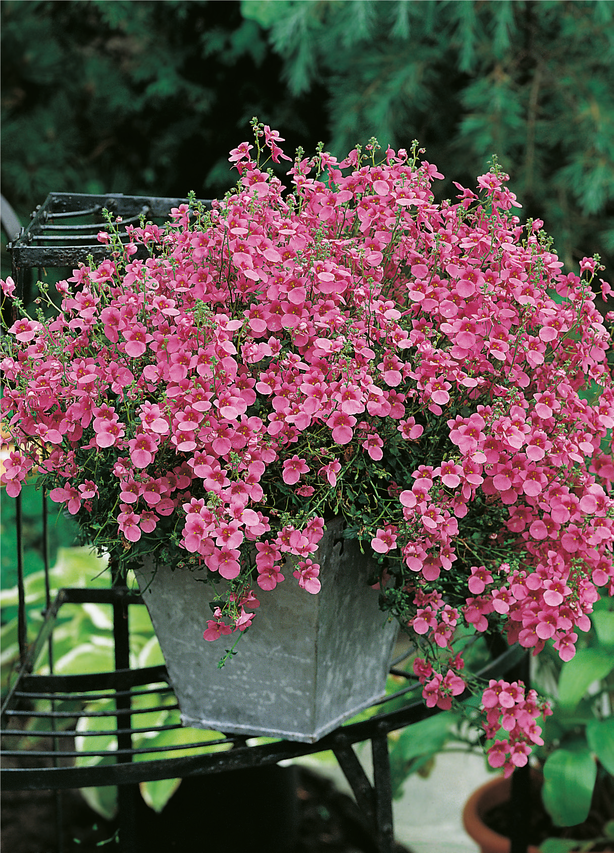 Diascia Pink Queen | Flower Seeds | Mr Fothergills
